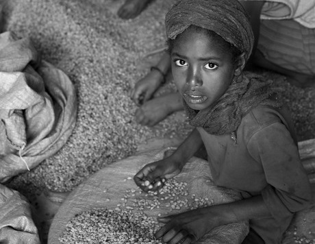 Young girls in Ethiopia engaged in child labor sort out good coffee beans from poor ones in a plant.
