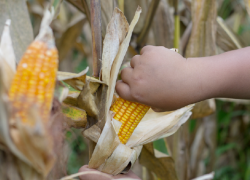 A child's hand reaches to harvest an ear of corn